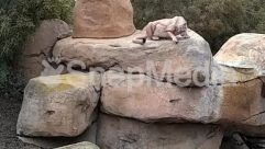 Animal, Archaeology, Art, Blanket, Cougar, Female, Flagstone, Limestone, Lion, Mammal, Nature, Outdoors, Path, Reptile, Rhino, Rock, Rubble, Sculpture, Slate, Soil, Statue, Tiger, Walkway, Warthog, Wildlife, Zoo
