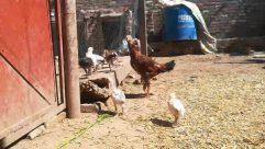 Animal, Chicken, Bird, Fowl, Poultry, Urban, Building, Soil, Zoo, Hen, Slum, Ground, Cock Bird, Rooster, Apparel