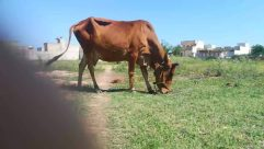 Animal, Mammal, Cattle, Cow, Nature, Outdoors, Field, Grassland, Bull, Dairy Cow, Countryside, Rural, Farm, Pasture, Meadow