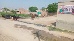 Animal, Cattle, Cow, Mammal, Urban, Building, Soil, Town, Street, Road, Person, Slum, Housing