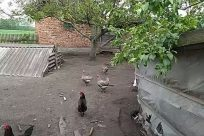 Zoo, Bird, Yard, Fowl, Poultry, Chicken, Countryside, Rural, Urban, Town, Street, City, Road, Building, Backyard