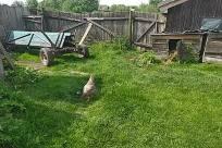 Yard, Grass, Plant, Backyard, Bird, Poultry, Fowl, Chicken, Countryside, Hen, Shelter, Rural, Building, Vegetation, Land