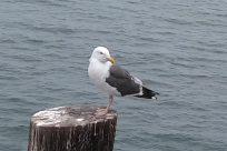 Bird, Seagull, Tree Stump, Beak, Albatross, Anseriformes, Waterfowl