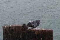 Bird, Dove, Pigeon, Accipiter