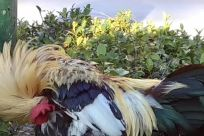 Bird, Chicken, Cock Bird, Fowl, Poultry, Rooster