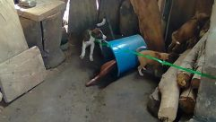 Soil, Canine, Dog, Pet, Bucket, Hound, Building, Cattle, Archaeology, Puppy, Cow, Den, Plant, Slate, Bulldog