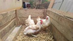 Bird, Chicken, Fowl, Poultry, Hen, Yard, Cock Bird, Rooster, Home Decor, Building, Backyard, Turkey Bird, Beak, City, Road