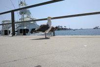 Bird, Seagull, Shoe, Footwear, Vehicle, Aircraft, Helicopter, Cruiser, Military, Navy, Ship, Beak, Running Shoe, Sneaker, Watercraft