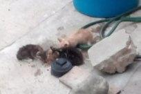 Wildlife, Pet, Cat, Ferret, Canine, Dog, Rat, Rodent, Possum, Raccoon, Mole, Bear, Barrel, Zoo, Kit Fox