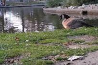 Water, Bird, Plant, Vegetation, Pond, Land, Goose, Waterfowl, Forest, Woodland, Tree, Grass, Rock, Yard, Bush