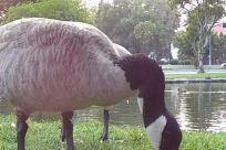 Bird, Goose, Sheep, Zoo, Flamingo, Waterfowl, Flock, Anseriformes, Beak