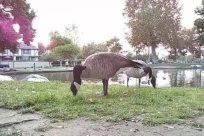 Zoo, Bird, Goose, Grass, Plant, Water, Waterfowl, Sheep, Lawn, Park, Yard, Vegetation, Pond, Flamingo, Emu