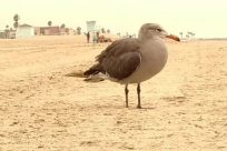 Bird, Seagull, Sand, Beak, Soil, Ocean, Sea, Water, Shoreline, Coast, Beach, Flying, Waterfowl, Boardwalk, Bridge