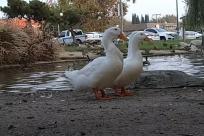 Bird, Goose, Duck, Fowl, Poultry, Chicken, Waterfowl, Vehicle, Beak, Soil, Automobile, Car, Pelican