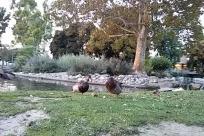 Goose, Bird, Waterfowl, Water, Plant, Grass, Vegetation, Yard, Pond, Zoo, Mallard, Duck, Chicken, Poultry, Fowl