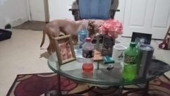 Furniture, Chair, Table, Dining Table, Dog, Canine, Pet, Coffee Table, Puppy, Tabletop, Drink, Beverage, Room, Bottle, Hound