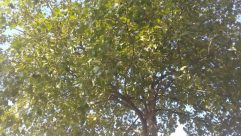 Plant, Tree, Tree Trunk, Oak, Sunlight, Leaf, Sycamore, Vegetation, Face, Undershirt