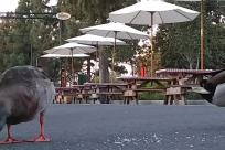 Bird, Chicken, Poultry, Fowl, Duck, Beak, Waterfowl, Canopy, Patio Umbrella, Garden Umbrella, Pigeon, Building, Plant, Seagull, Umbrella
