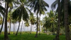 Summer, Plant, Tree, Palm Tree, Arecaceae, Vegetation, Food, Vegetable, Nut, Fruit, Tropical, Garden, Grass, Arbour, Coconut