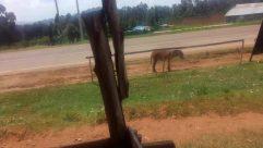 Horse, Field, Vehicle, Plant, Grass, Grassland, Motorcycle, Car, Automobile, Wheel, Tree, Tent, Wildlife, Antelope, Colt Horse