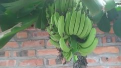 Plant, Banana, Food, Fruit, Green, Vegetation