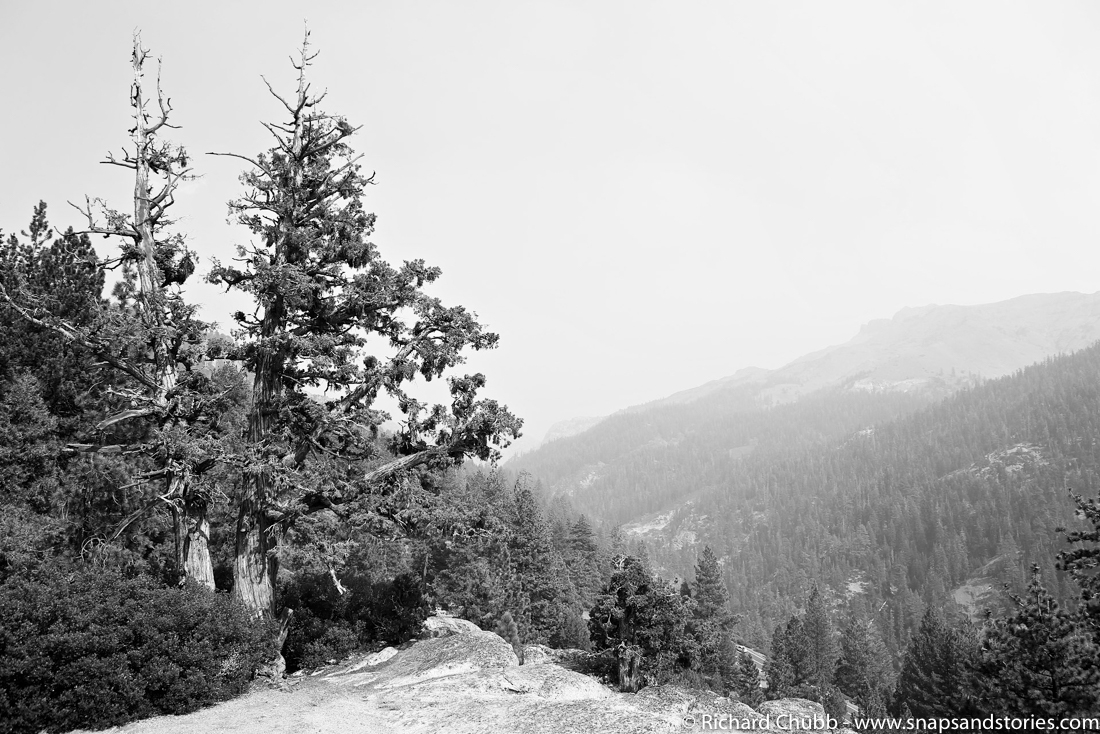 Black and white photograph of Stanislaus forest