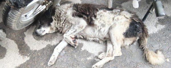 Injured Dog Treated From Streets of Kathmandu