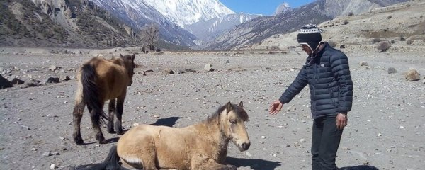 MULES AND DONKEYS TREATMENT IN MANANG DISTRICT