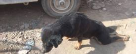 Lokanthali Incident of Hit and Run, Dogs Paralyzed for Life