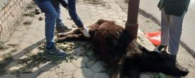Calves Hit by Truck, Snehas Care Rescues. Update: One Died :(