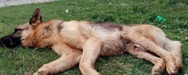 German Shepherd Rescued