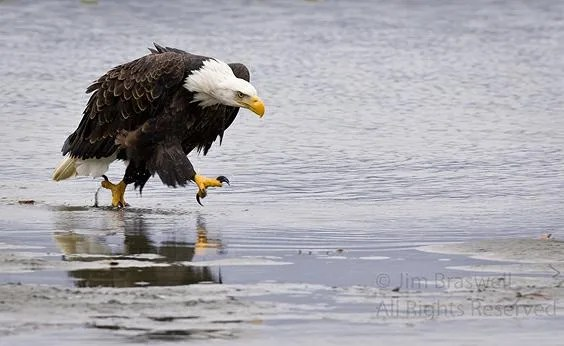 Running Eagle Walking Eagle