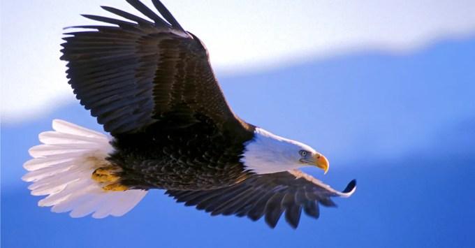 Image result for eagle images