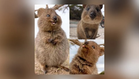 Is the Quokka a Real Animal?