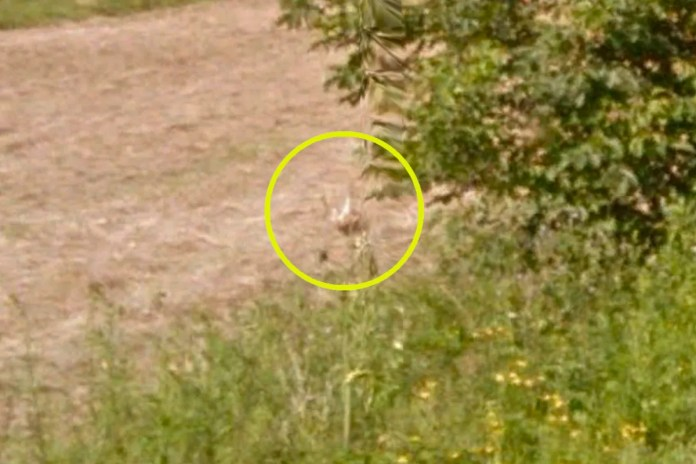 Was a 'Super Rabbit' Hit by a Google Maps Street View Car?