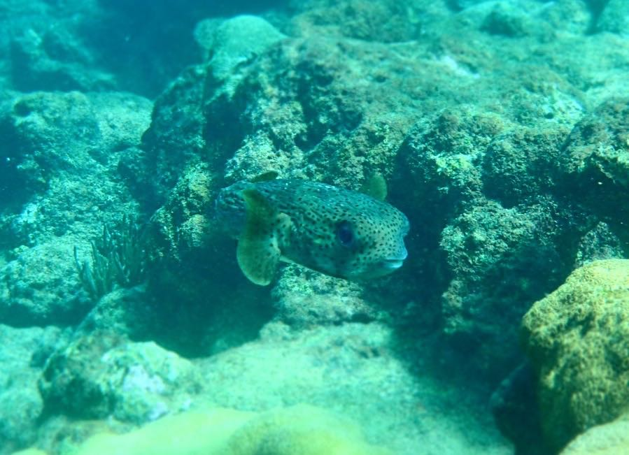 Porcupine Fish Tobago