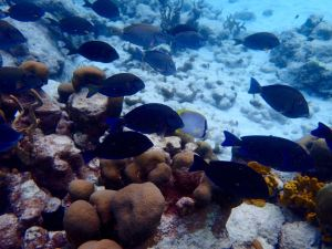 Blue Tangs = Lots of Dory