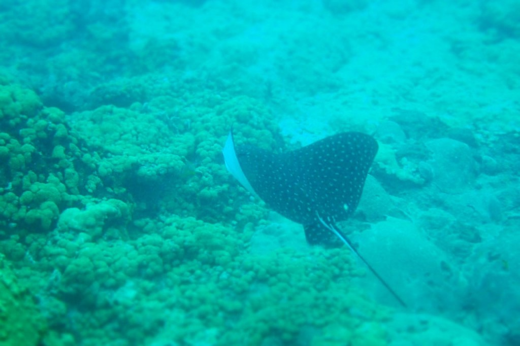 Spotted Eagle Ray Tobago