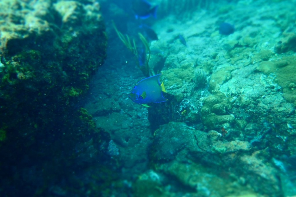Queen Angel Fish Tobago