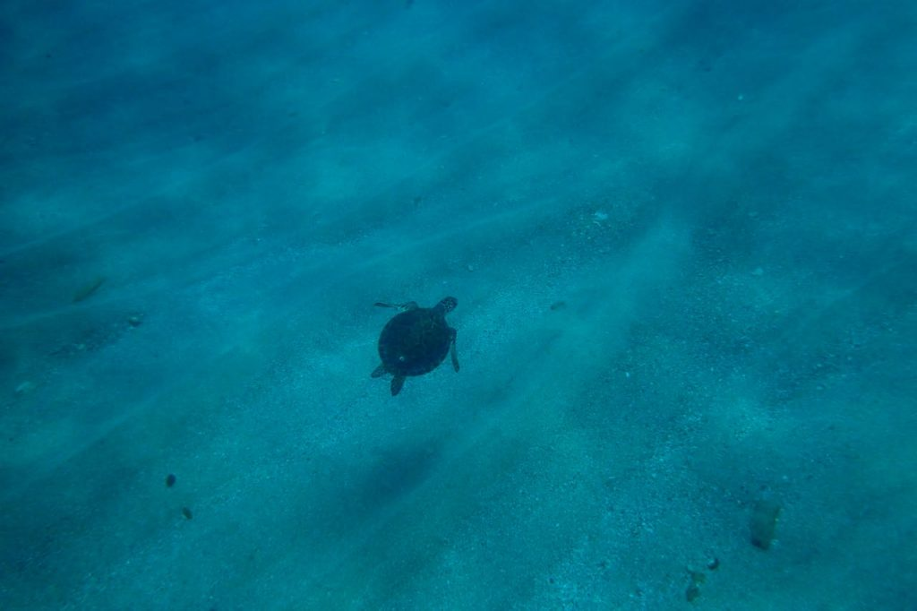 Green Turtle Tobago