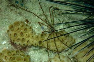 Yellow line Arrow Crab, Tobago