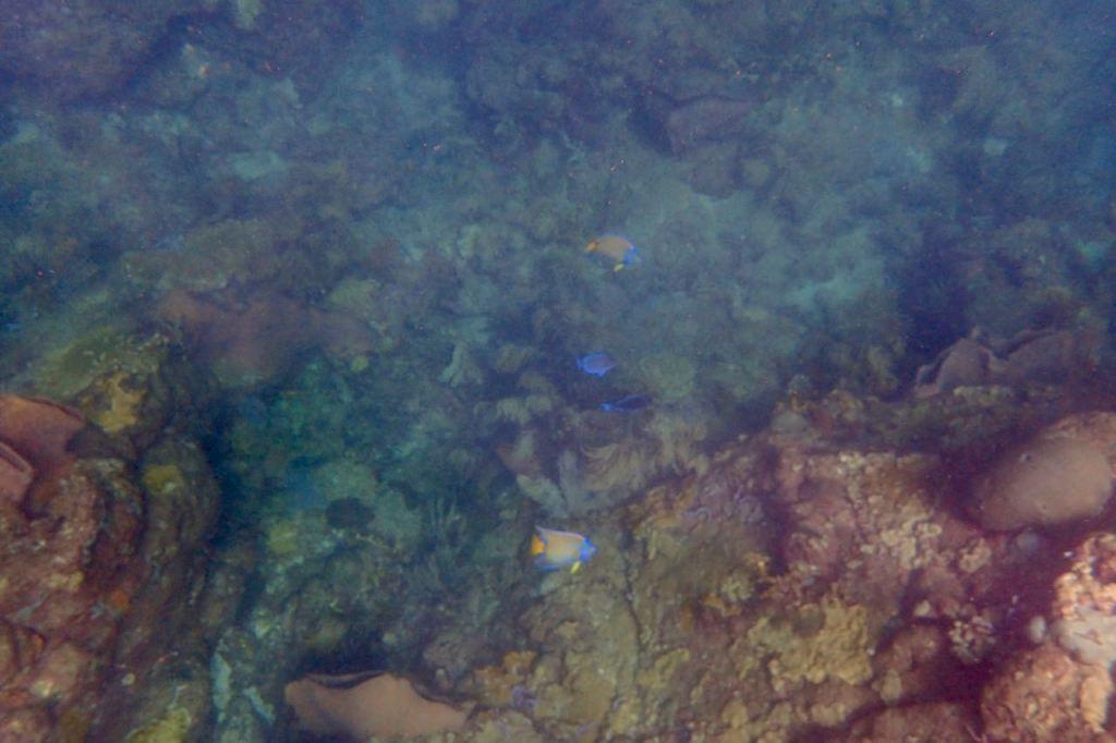 Queen Angel Fish in Castara