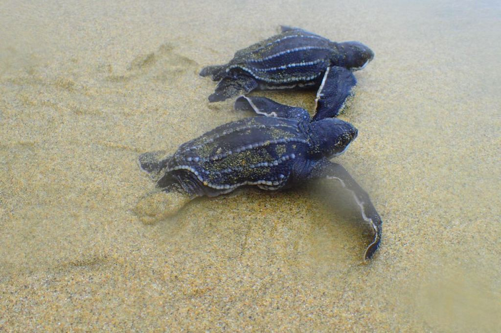 Baby Turtles, Cotton Bay