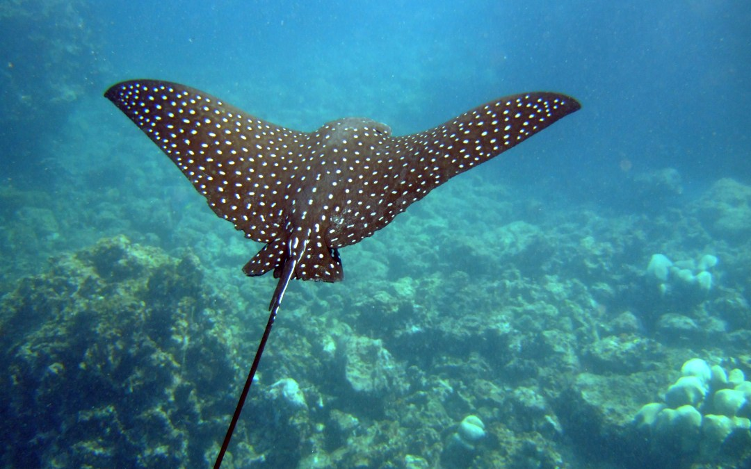 Snorkelling with a Spotted Eagle Ray