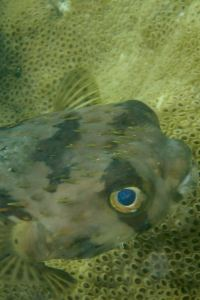 Balloonfish, Tobago