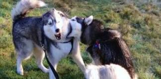 Husky biting another husky