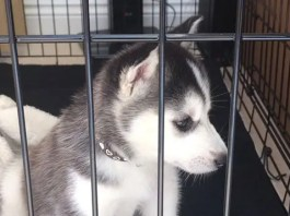 Separation Anxiety in Huskies