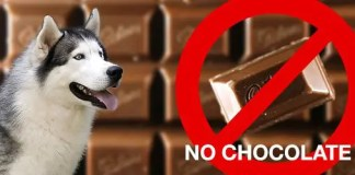 No chocolate for huskies