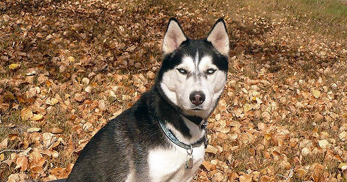 Zinc Deficiency And Seizures In Huskies Snowdog Guru