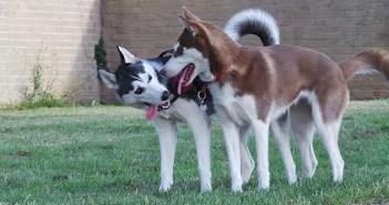 Husky Socialization